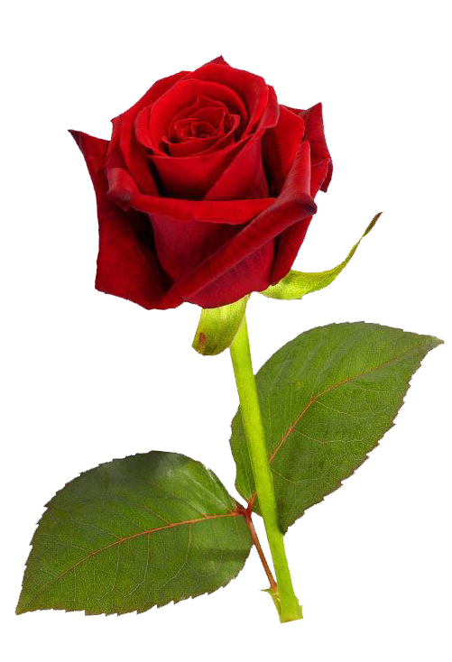 Single Red Rose PNG HD - Rose HD PNG