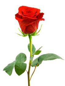LOVE GIFT THREE ROSE Png Collection PlusPng.com  - Rose PNG HD