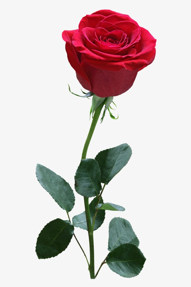 rose, Flower, Red Free PNG Image - Rose PNG HD