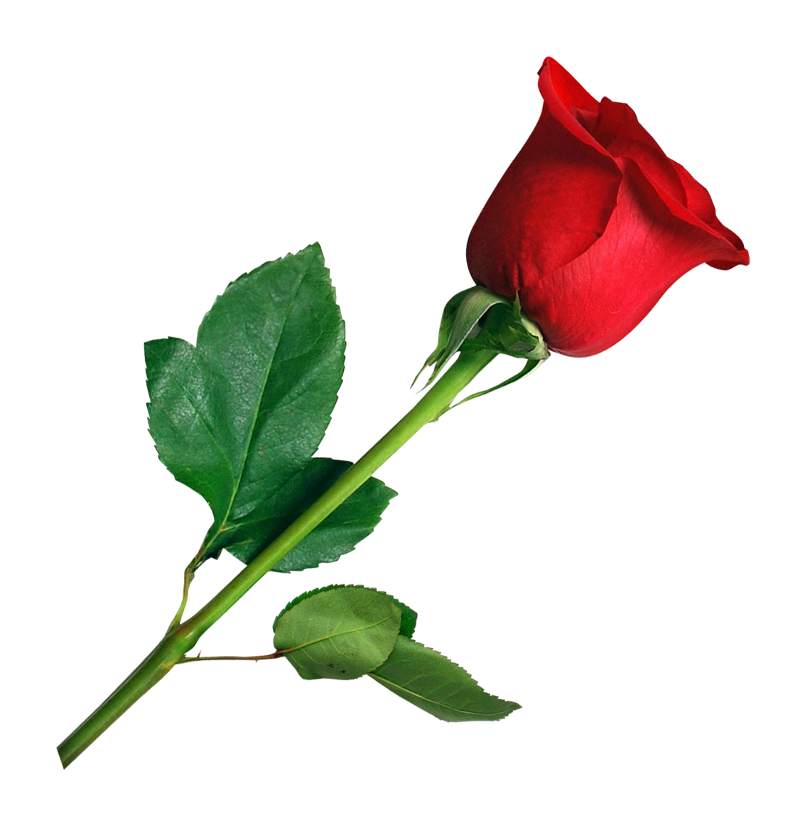Rose PNG Transparent Image - Rose PNG HD