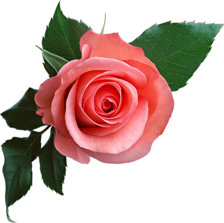 Pink rose png image, free picture download - Rose PNG