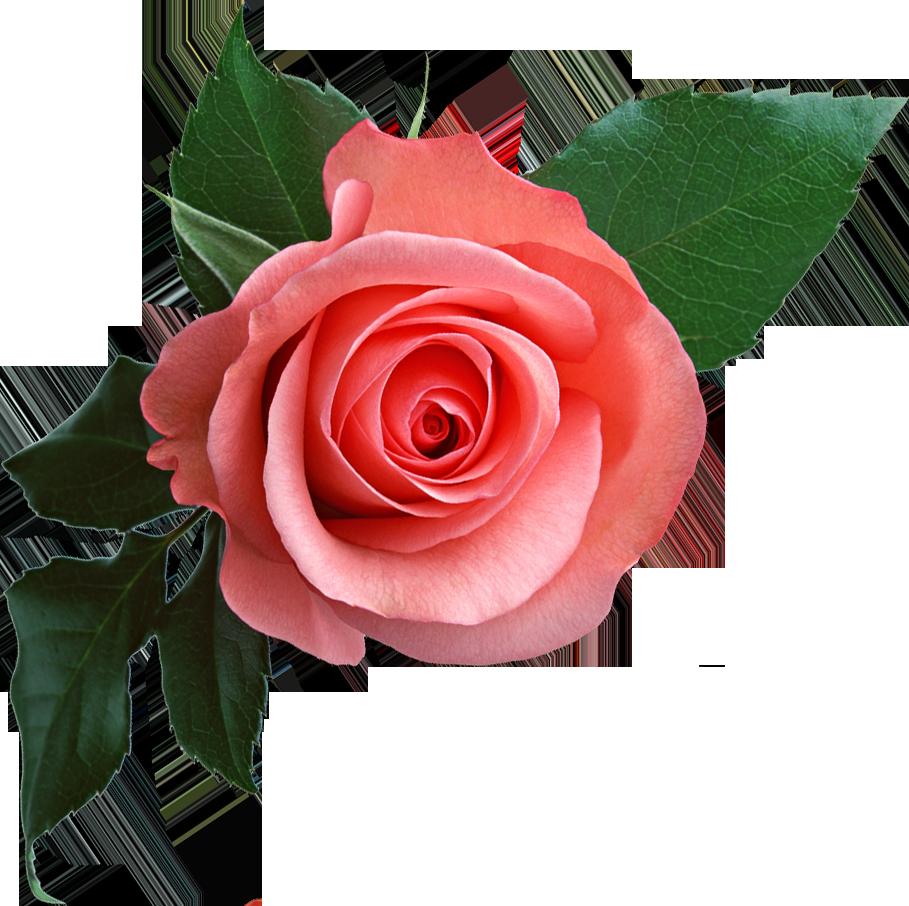 Rose PNG - 12784