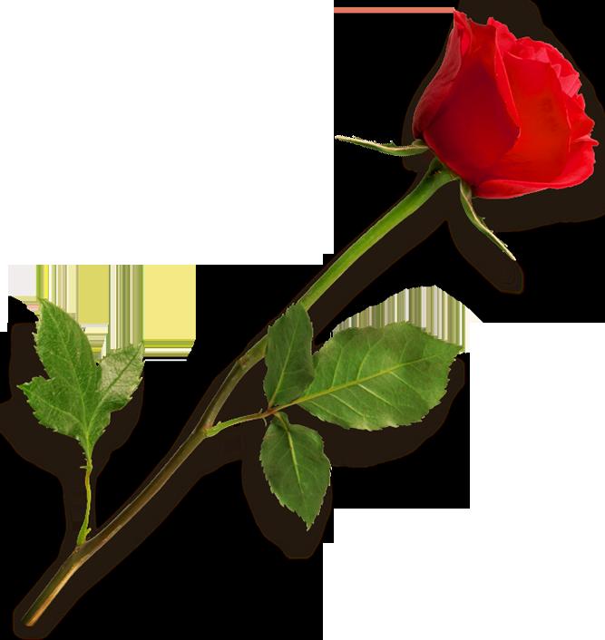 Rose PNG - 12782
