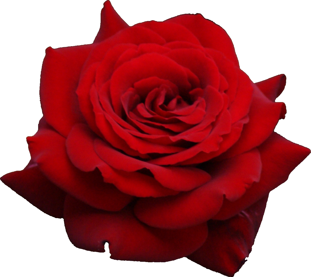 Red rose png image, free picture download - Rose PNG