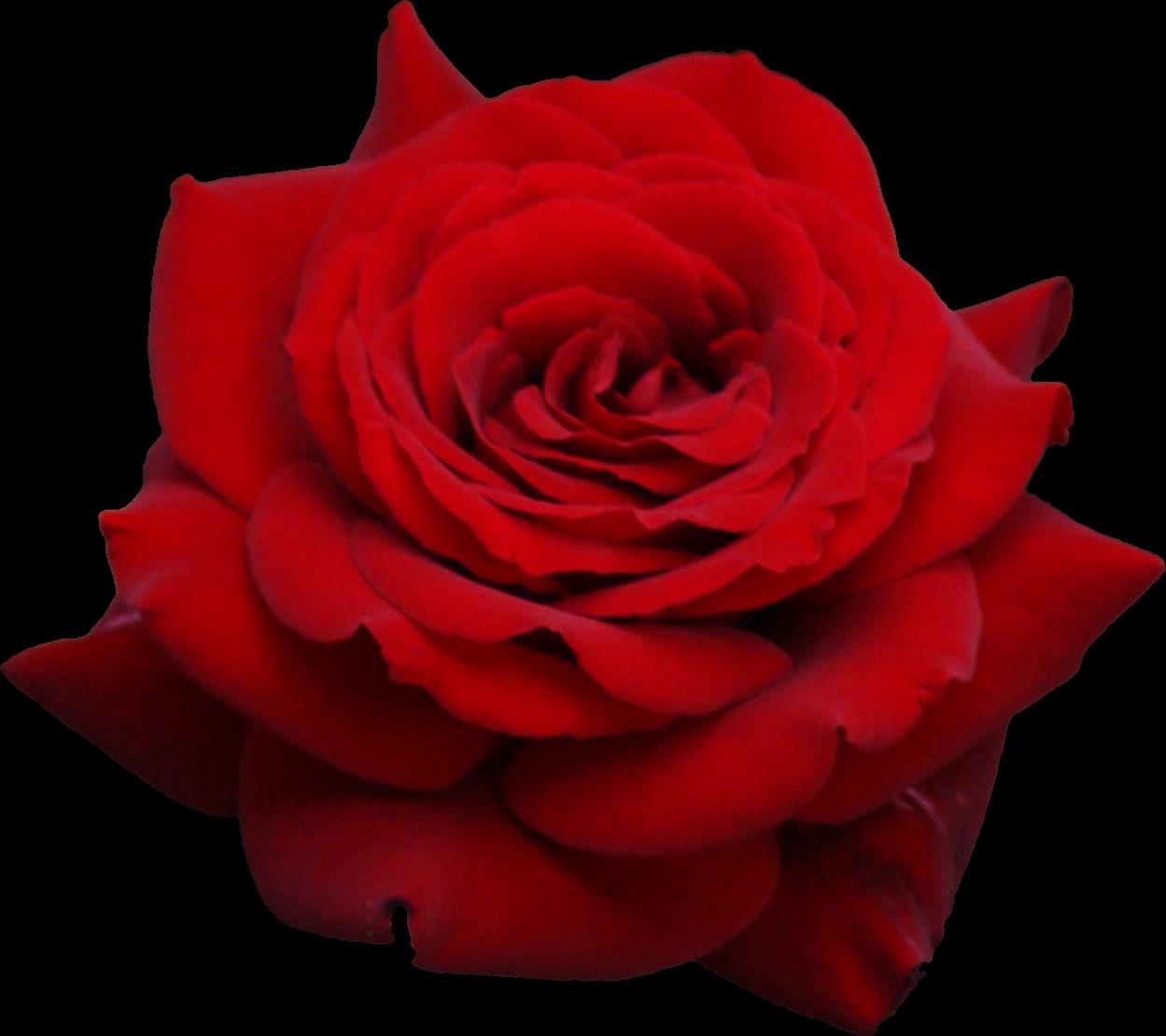 Rose PNG - 12776
