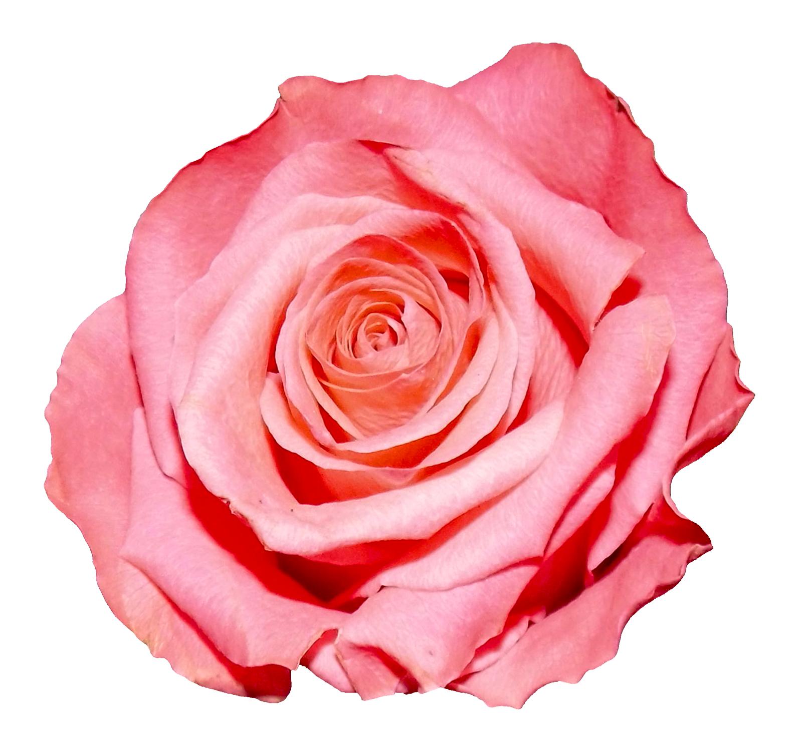Rose PNG - 12779
