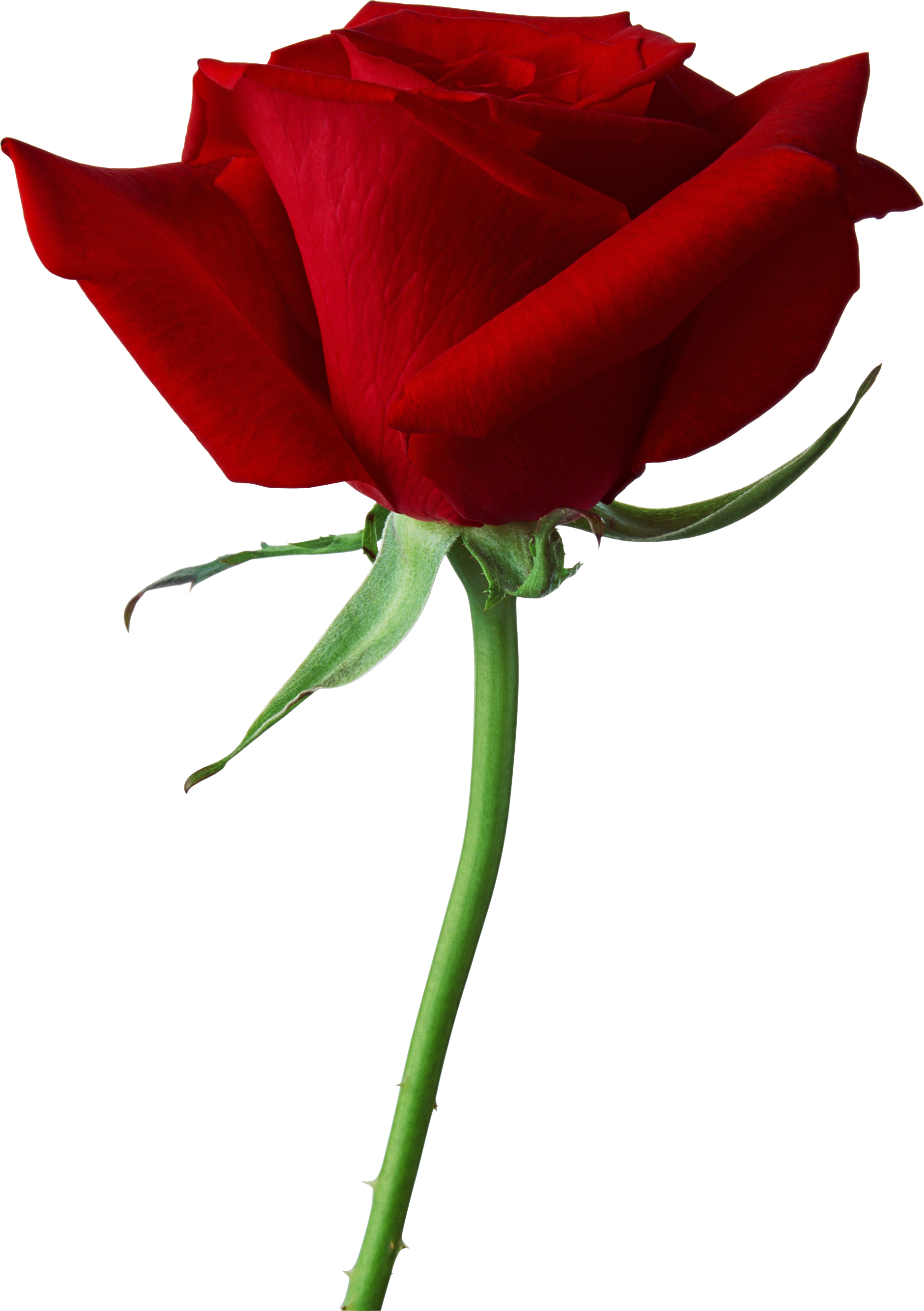 Rose png image, free picture