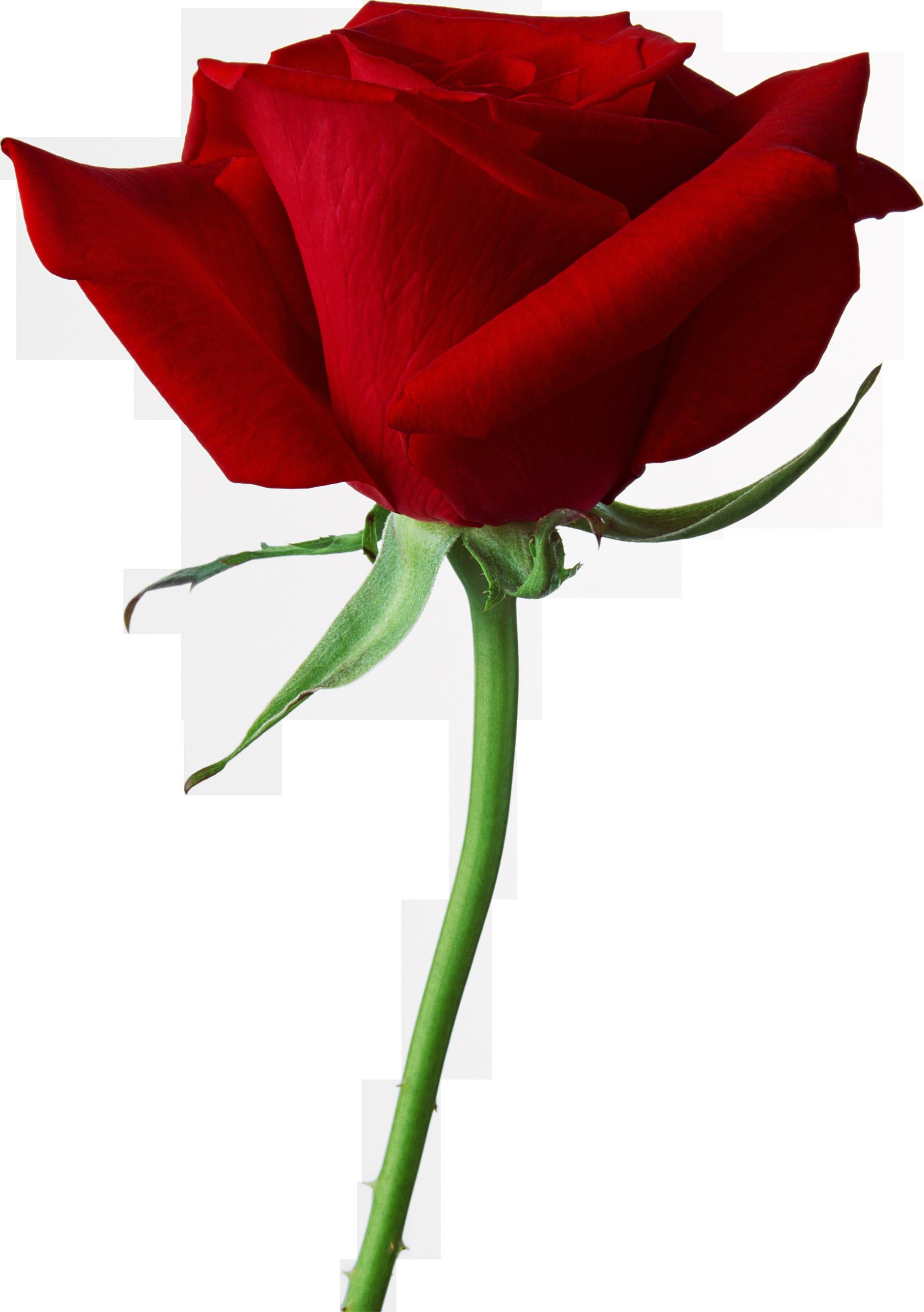 Rose PNG - 12783