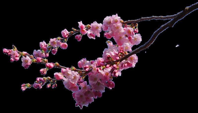 Sakura Flower PNG HD - 121362