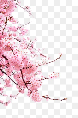 Cherry blossoms, Pink, Plant, Flowers PNG Image - Sakura Flower PNG HD