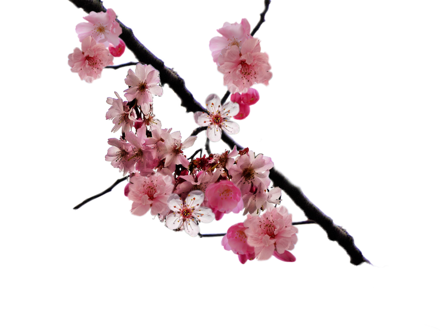 Clipart library: More Like Cherry blossom branch png by DoloresMinette - Sakura Flower PNG HD