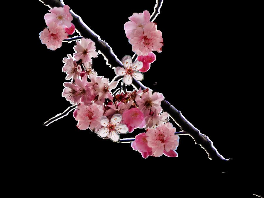 Sakura Flower PNG HD - 121365