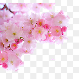 Pink cherry blossom branches, Cherry Blossoms, Matte Finish, Lovely PNG  Image - Sakura Flower PNG HD