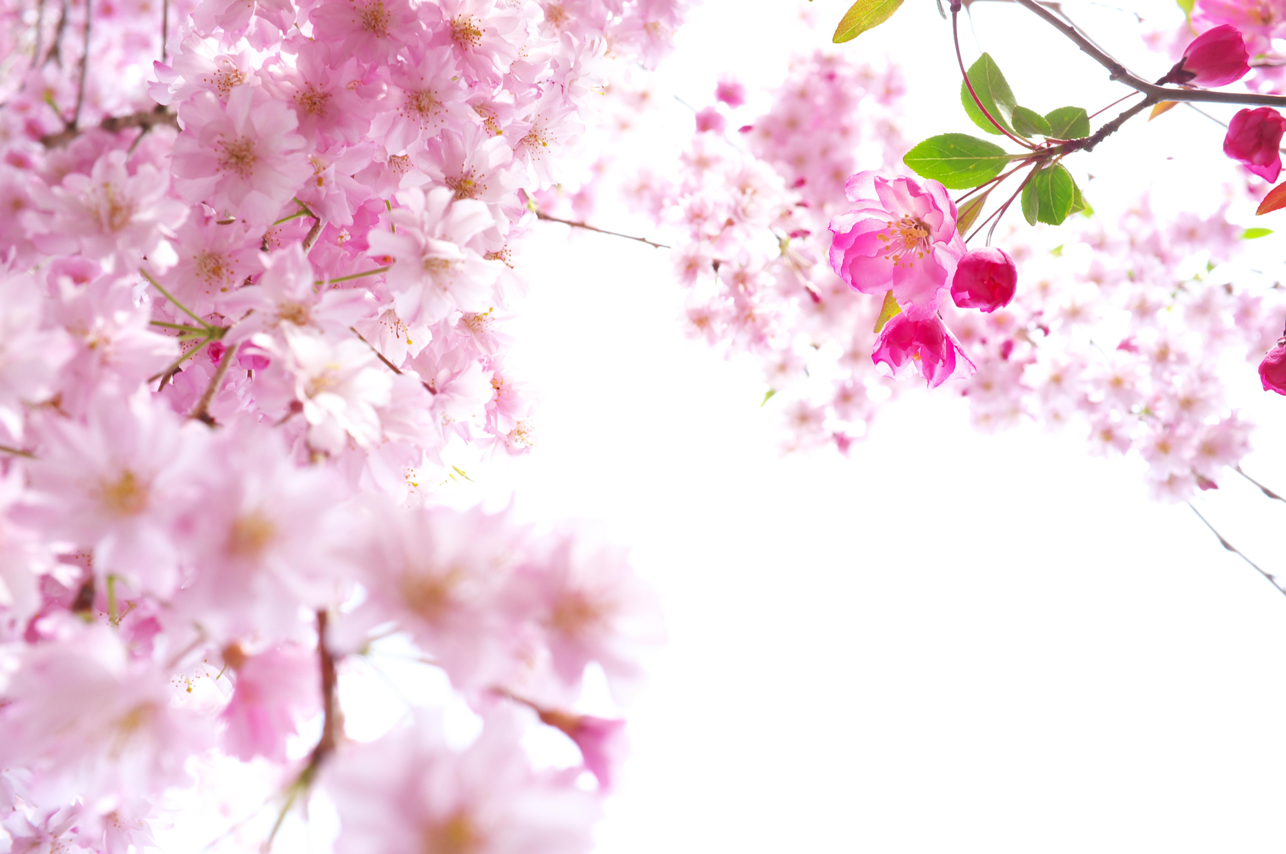 Sakura Flower PNG HD - 121367