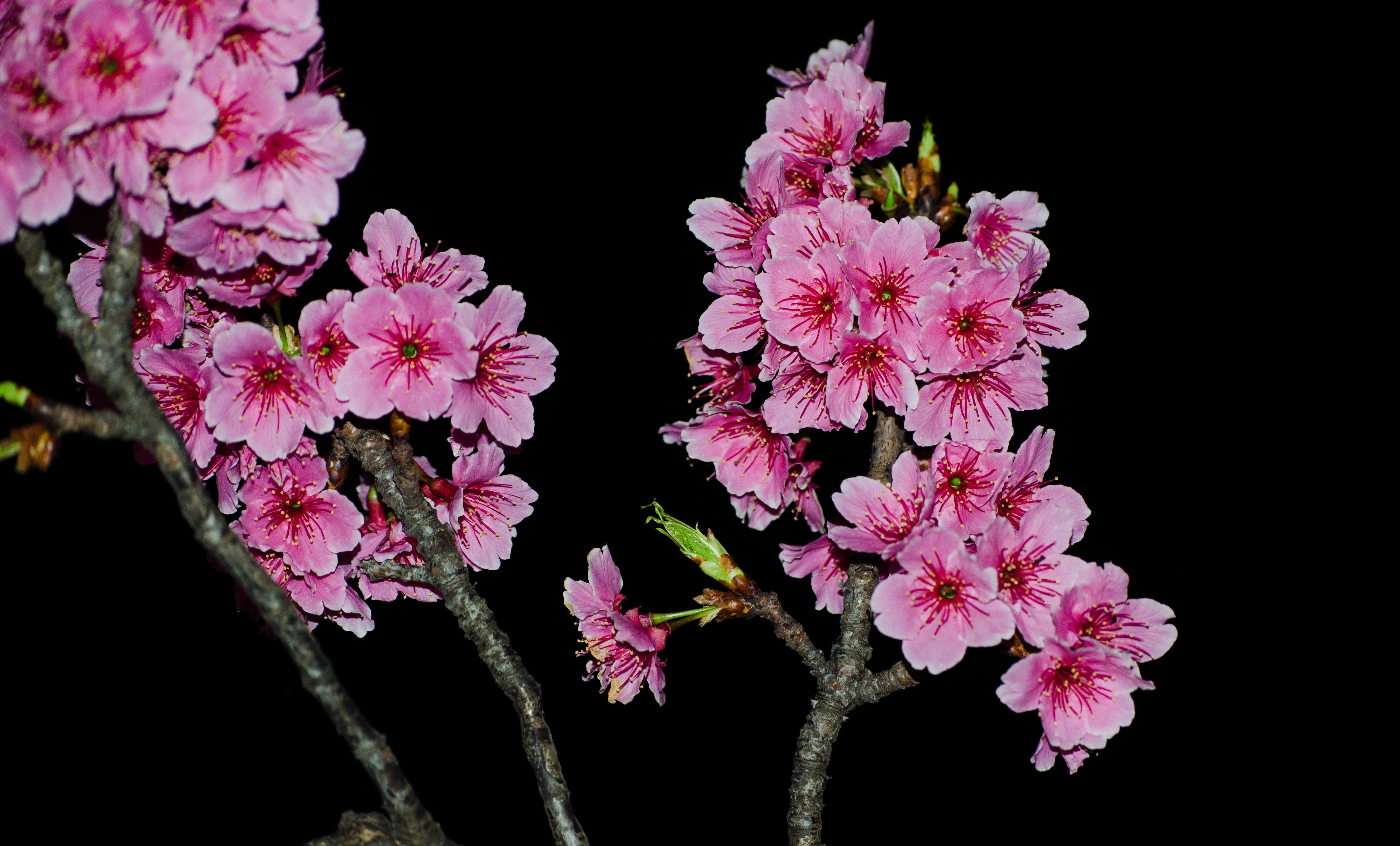 Sakura Flower PNG HD - 121372