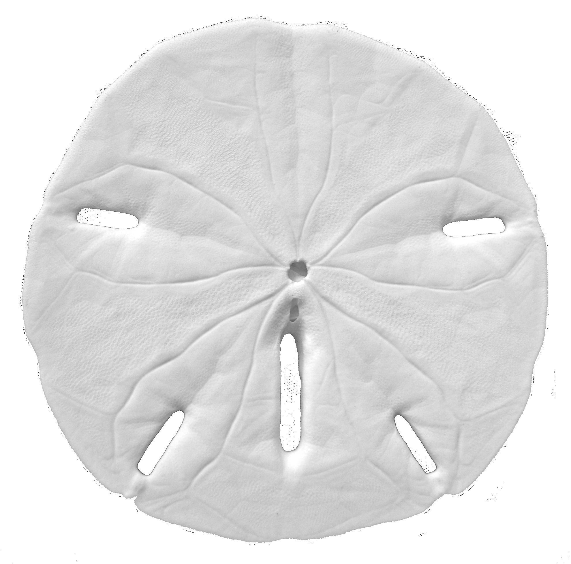 . PlusPng.com sand dollar 3d model obj 6 PlusPng.com  - Sand Dollar PNG Black And White