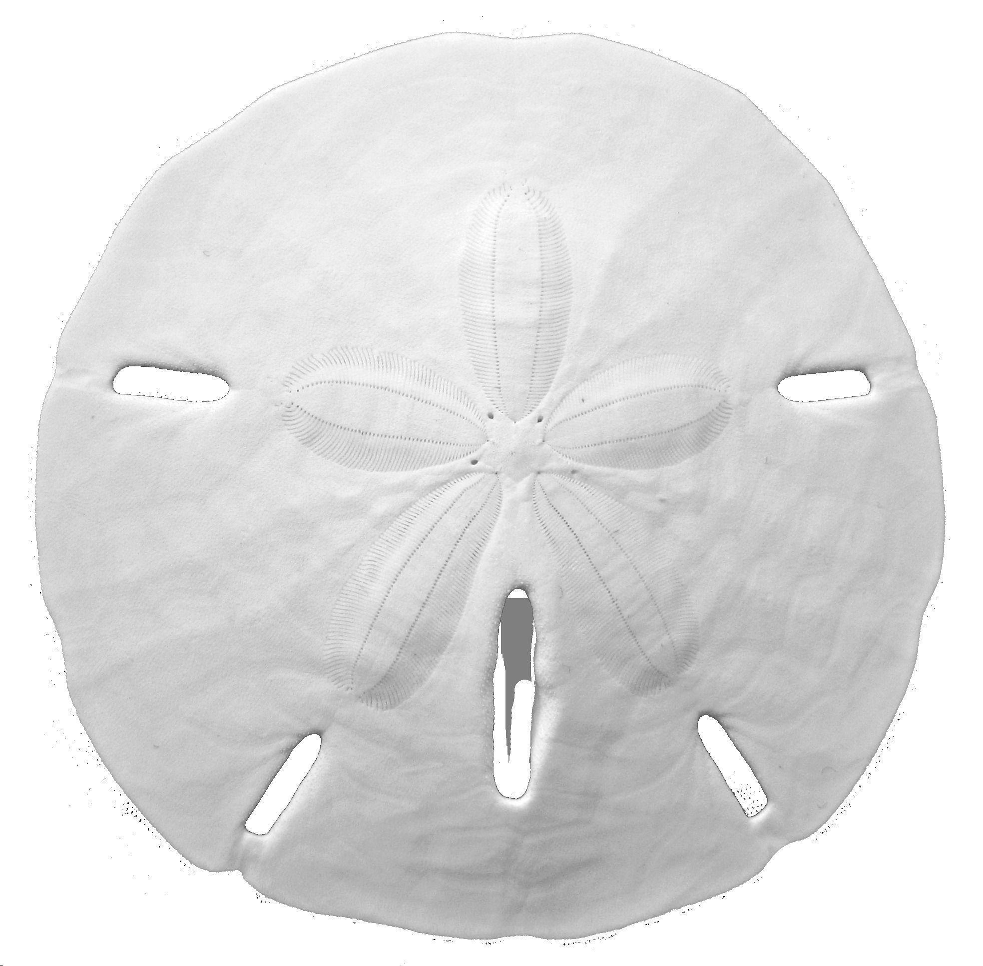 sand dollar png black and white transparent sand dollar black and