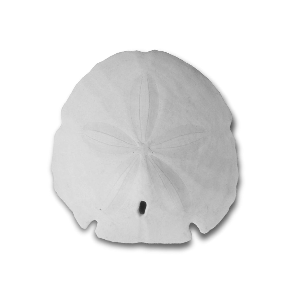 white sand dollar - Sand Dollar PNG Black And White