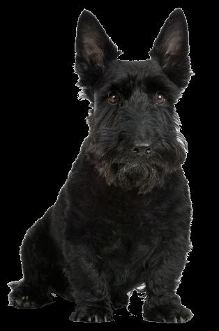 Transpa Scottie Dog Hd Png Images