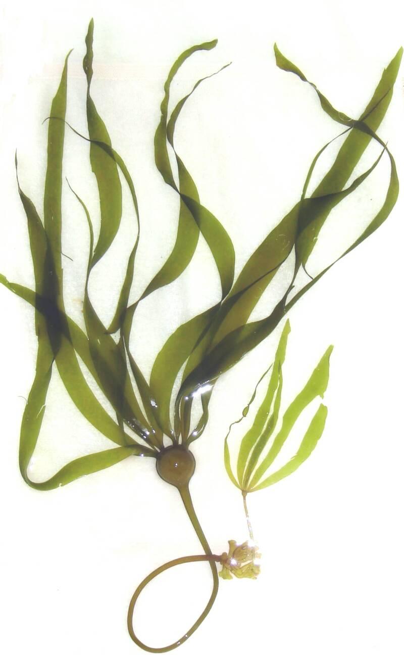 kelp - Sea Kelp PNG