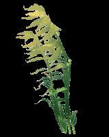 . PlusPng.com Reefu0027s Edge Tree Kelp Preview. PlusPng.com  - Sea Kelp PNG
