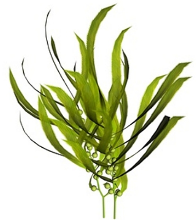 Sea Kelp PNG