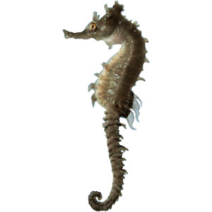Seahorse PNG - 19990