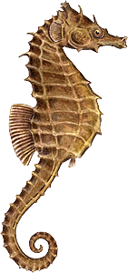 seahorse png - Seahorse PNG