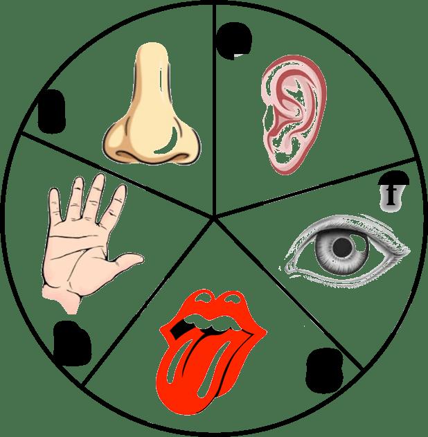 Figure shows five sense organs - Sense Organs PNG