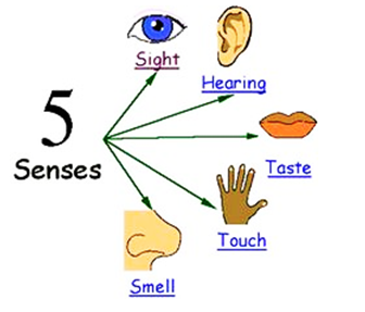 For each sense we use specific sense organ. Each of us has 5 sense organs  that help us collect information from our surroundings. Our sense organs  include PlusPng.com  - Sense Organs PNG