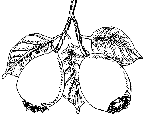 Guava - right after fruit set - Set Of Fruits PNG Black And White