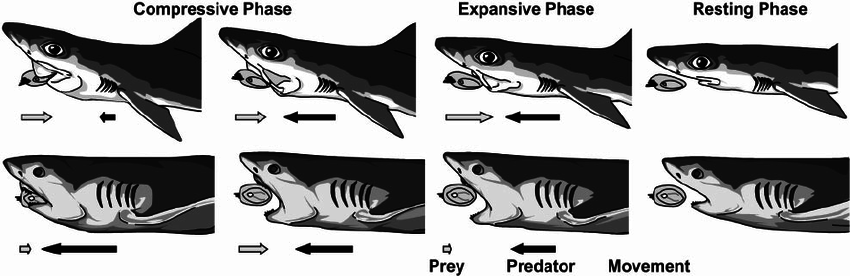 Feeding sequence in sharks. Suction-bite (above) and bite-feeding ( - Shark Bite Mark PNG