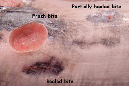 Photo of Cookiecutter Shark bites on Swordfish at various scar stages.  Includes fresh bites ( - Shark Bite Mark PNG