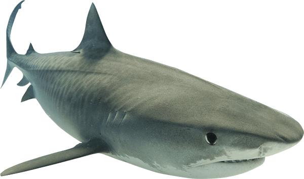 Animal Shark PNG Clipart image #42750 - Shark PNG