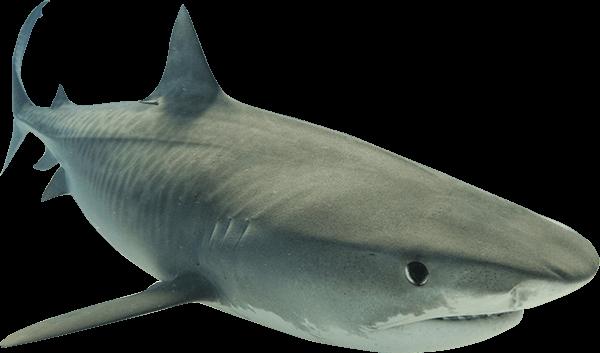 Shark PNG - 8644