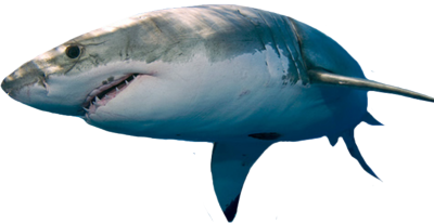 Great White Shark Png image #42758 - Shark PNG