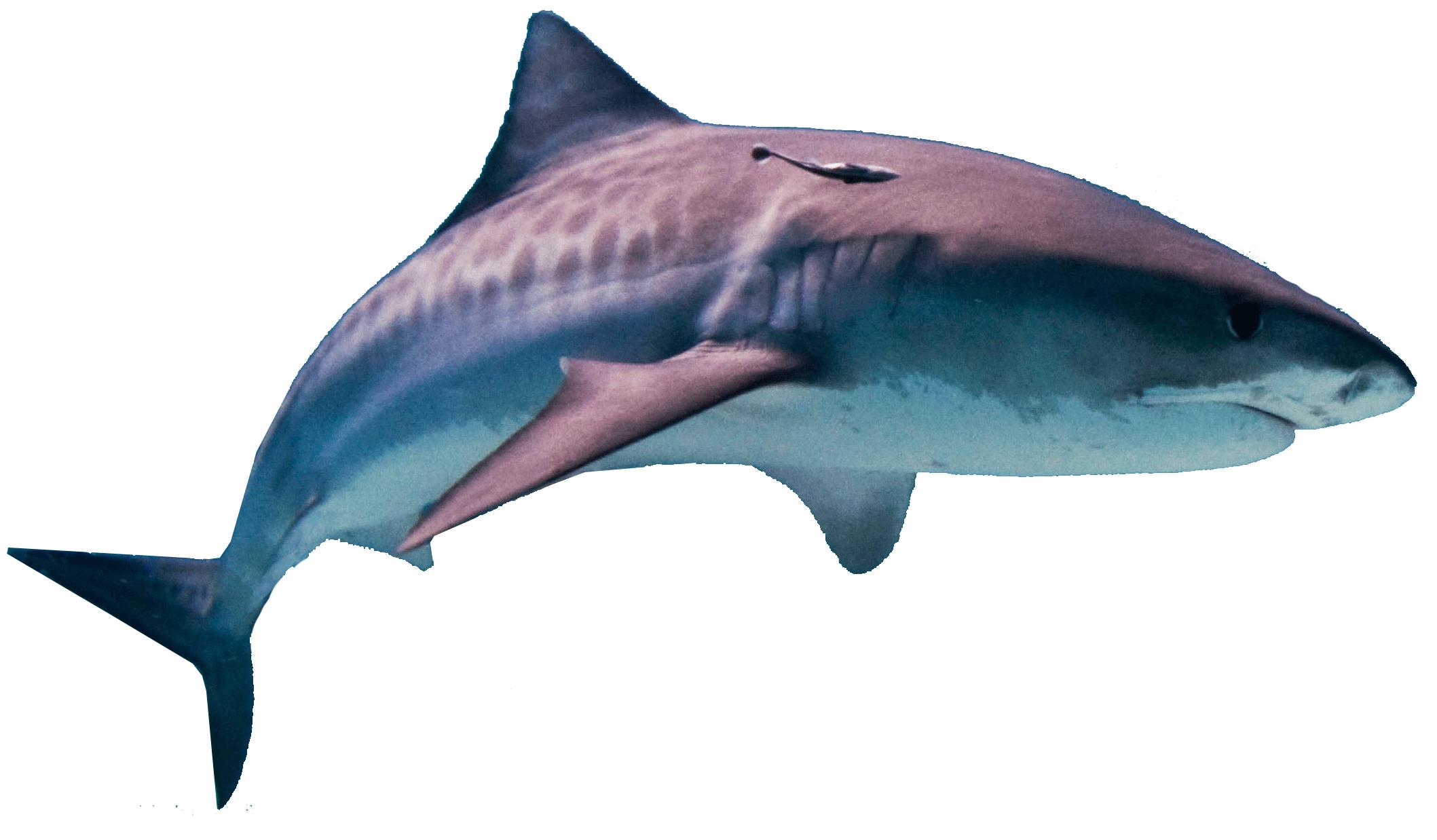 Shark PNG - 8649