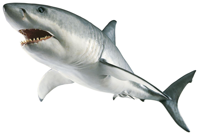 Shark PNG - 8647