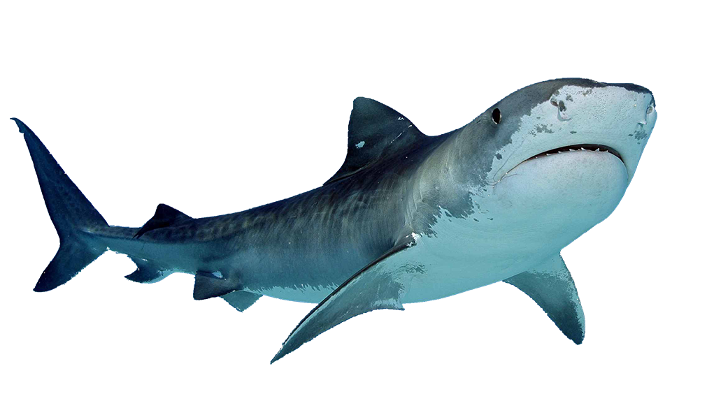 Great White Shark Png image #