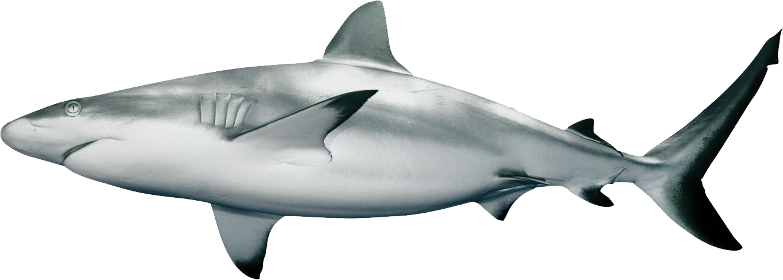 Shark PNG - 25684