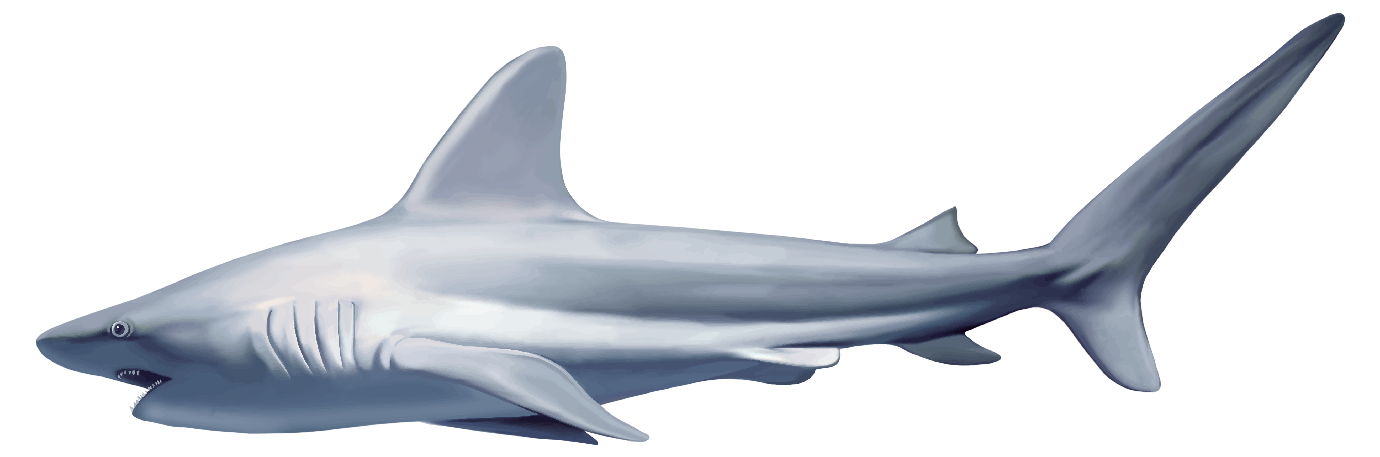 Shark PNG - 8643