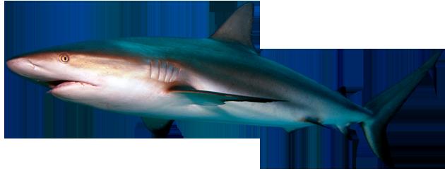 Shark PNG - 8650