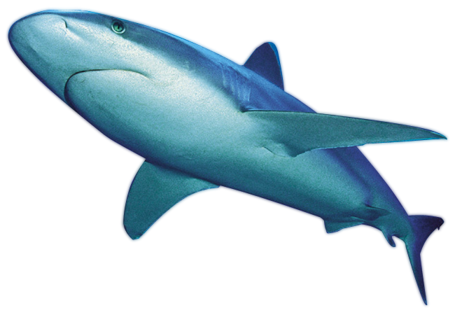 Shark Png File PNG Image - Shark PNG