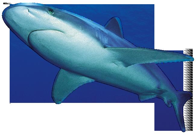 Shark PNG - 25671