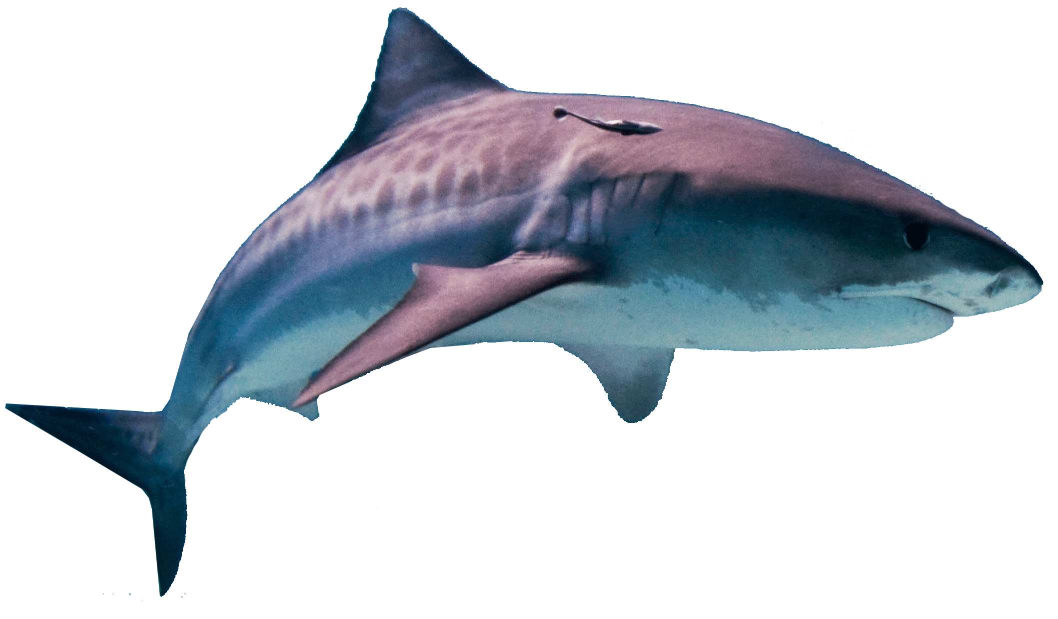 Shark PNG - 25677