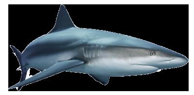 Shark PNG - 8658