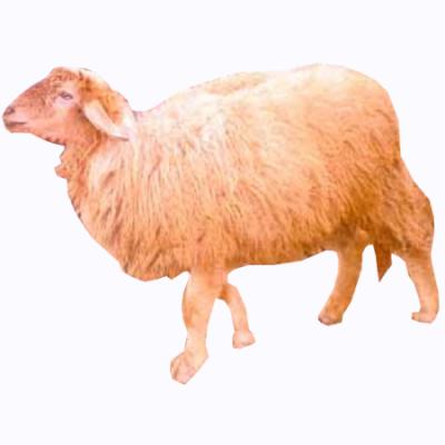 Livestock. Munjal Sheep Punja