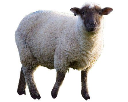 Sheep Picture PNG Image - Sheep And Wool PNG