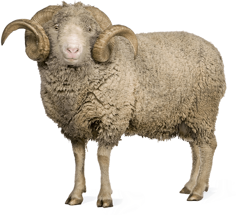 What The Wool? - Sheep And Wool PNG