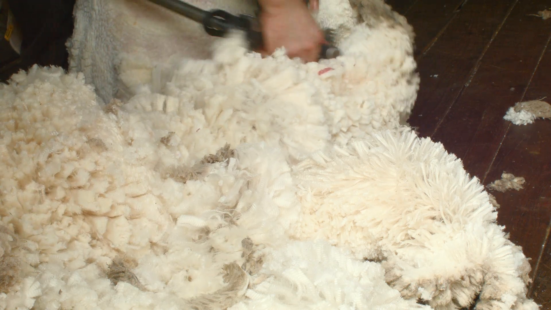 Wool Fleece As It Is Being Shorn Off A Sheep Stock Video Footage -  VideoBlocks - Sheep And Wool PNG